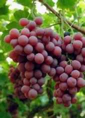globe uva da tavola uva i nostri prodotti valcom italia