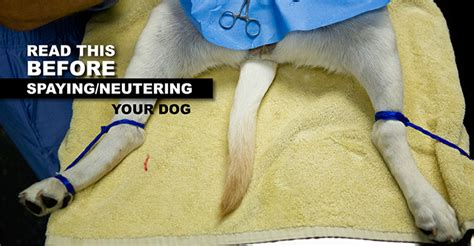 when should a puppy be neutered spay neuter and joint disease