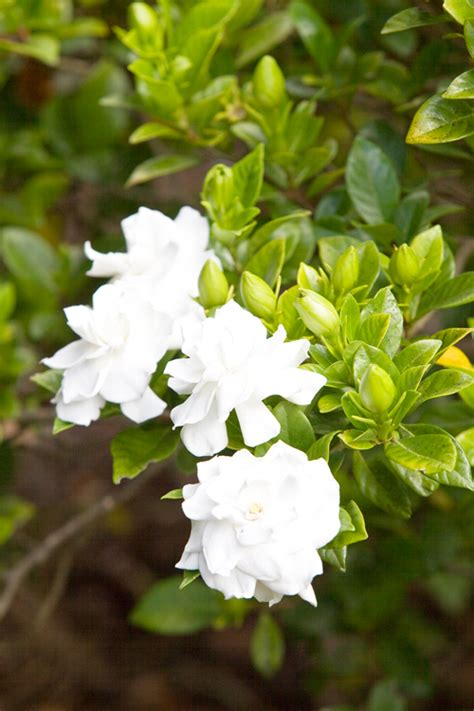 Gardenia Shrub Growing Gardenias Burke S Backyard