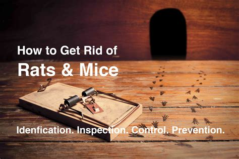 how to keep mice out of house how to keep mice out of house rats and mice how to keep them out of your home