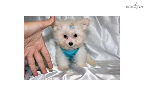 morkie puppies for sale in michigan pin teacup morkie puppies for sale in michigan yrygozota on