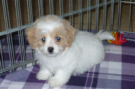 maltese puppies for sale az view ad maltese poodle mix puppy for sale arizona tucson usa