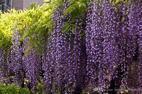 blue chinese wisteria 2017 wholesale blue chinese wisteria