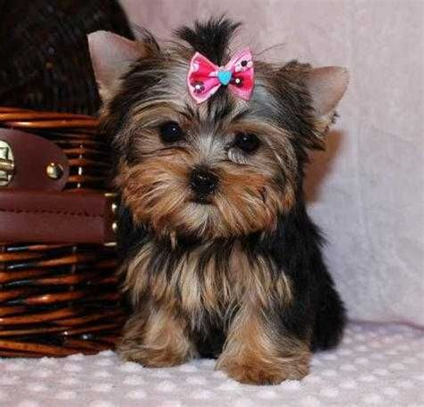 white teacup yorkie puppies 1000 ideas about teacup yorkie on yorkie puppies yorkie and yorkie