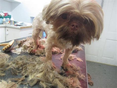 shih tzu skin ispca assist in major rescue operationispca