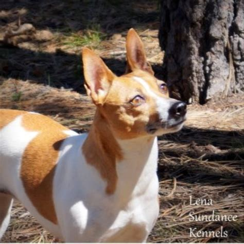 free puppies in az sundance kennels rat terrier breeder in pinetop lakeside arizona