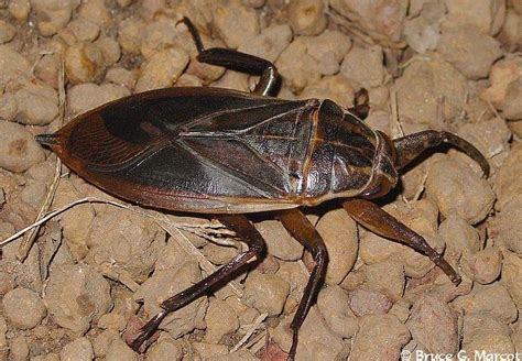 water beetle in house how to get rid of water bugs