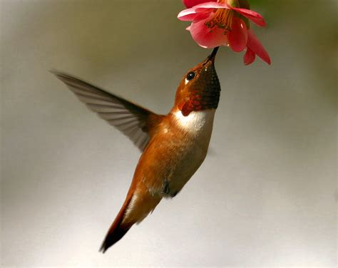 rufous hummingbird the sounds of spring the sumpter valley dredge