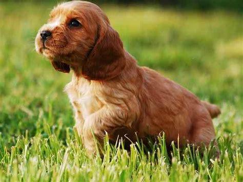English Cocker Spaniel: Gun Dog or Best Family Pet?
