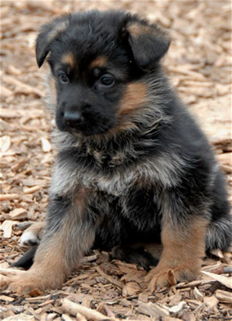 german shepherd puppies for sale in delaware german shepherd import puppies direct from germany