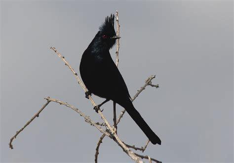 black birds in california birds of prey