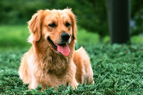 large golden retriever breeders golden retriever puppies for sale from reputable breeders