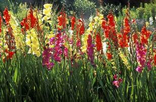 Variety Of Flowers For Garden How To Grow Gladiolus Flowers