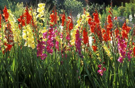 flowers for backyard how to grow gladiolus flowers