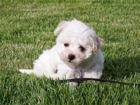 havanese health problems havanese breed 187 information pictures more