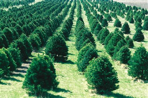 a christmas tree oh christmas tree land use environment the oregon