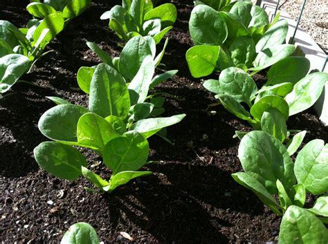 Spinach Garden by Vegetable Garden Planting The Bald Gourmet