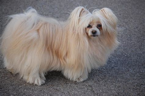 haired dachshund pomeranian mix maltese and dachshund breeds picture