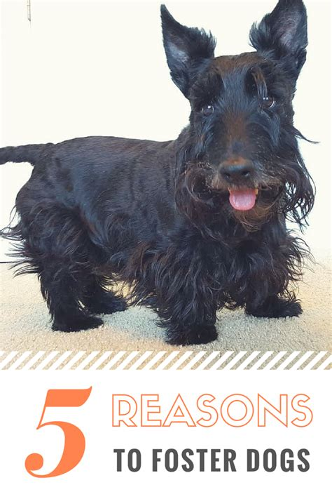 how does it take for puppies to open scottie 5 reasons to foster dogs