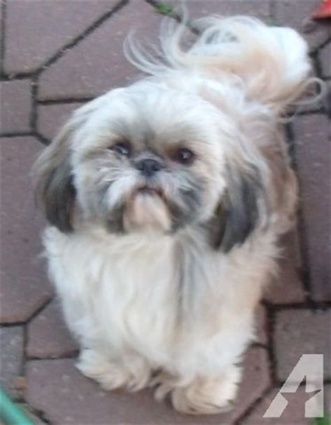 shih tzu for sale virginia akc registered shih tzu for adoption for sale in virginia virginia