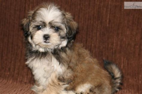 malshi puppy mal shi puppies for sale breeds picture