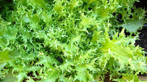 Endives Benefits For Detoxing by Health Benefits Of Endive Nutritional Facts And