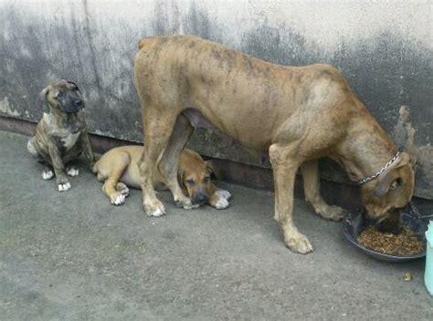 boerboel puppies price boerboel puppies for sale pets nigeria
