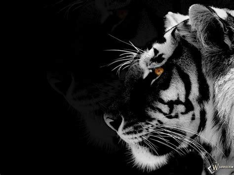 wallpaper black tiger black tiger animal обои black white tiger животные
