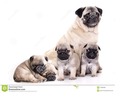 pug puppies pictures free purebred pug puppy royalty free stock images image 17696099
