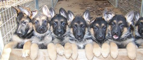german shepherd puppies for sale michigan akc german shepherd puppies for sale german shepherd breeder mi
