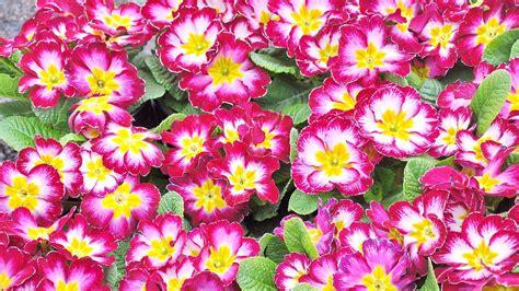 piantare fiori quali fiori piantare nel mese di ottobre