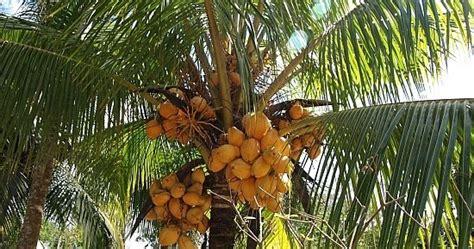 gambar pohon kelapa indonesiadalamtulisan terbaru