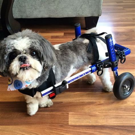 gizmo the shih tzu 13 pups who are proudly rocking their wheels like turboroo barkpost