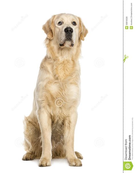 1 year golden retriever golden retriever one year stting royalty free stock photos image 30819328