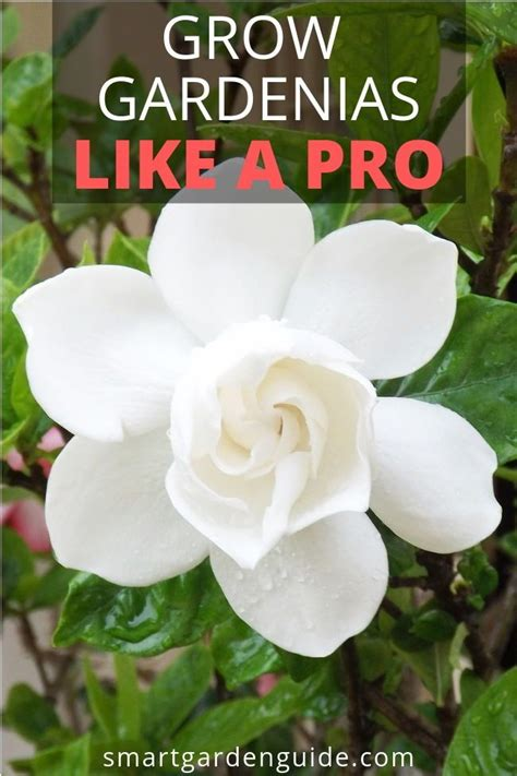 gardenia plant indoor care guide  awesome gardenia