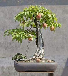mango bonsai  space conscious folks tropical fruits