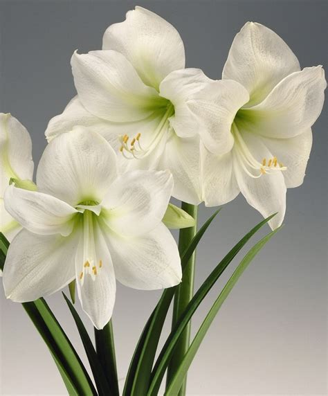 amaryllis christmas gift royal dutch single amaryllis