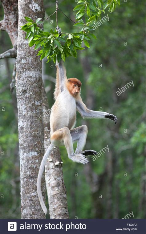 picture of a monkey swinging from a tree monkey swinging on tree www pixshark com images
