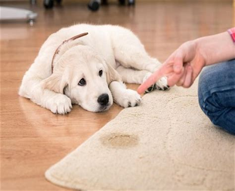 how to stop a dog peeing in the house how to stop my dog pee on the furniture kravelv