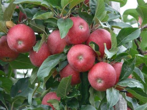 melo tavolo alberi da frutto innesti