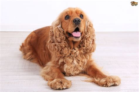 cocker spaniel cocker spaniel hereditary health and genetic diversity pets4homes