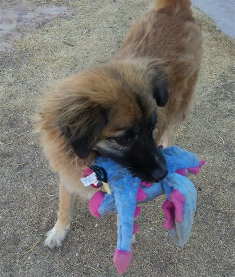 how to your to up their toys how to teach your pets to clean up their toys couture country