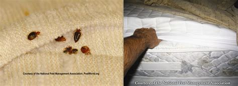 can u see bed bugs how to identify bed bugs conway arkansas