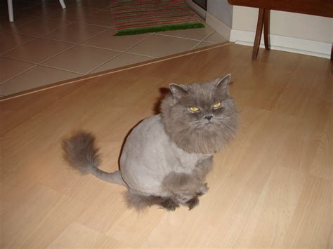 haircuts for long haired cats persian cat lion haircut catbreeds more persian cats