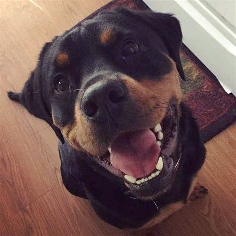 vicious rottweiler 25 best ideas about front teeth on happy pictures baby beaver and