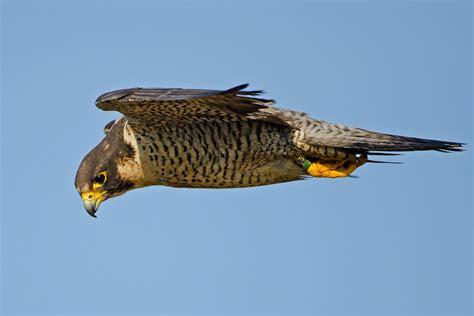 peregrine falcon audubon field guide