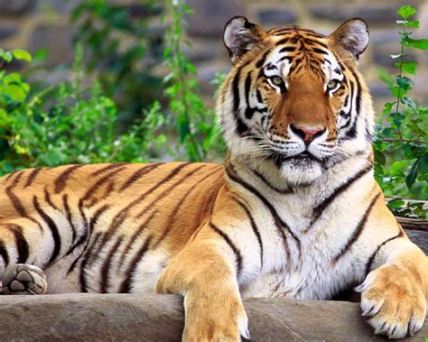 harimau sumatera macan kumpulan gambar foto binatang hewan flora fauna