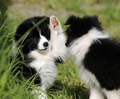 border collie puppies pa de 25 bedste id 233 er inden for border collies p 229 collie puppies hunde og