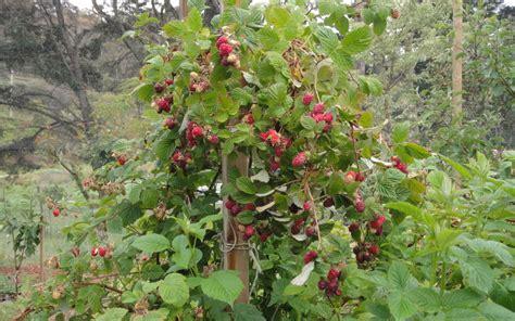 raspberry fruit tree my edible fruit trees raspberry trees