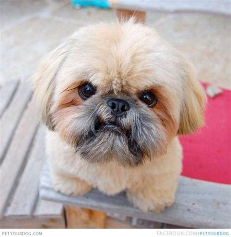 angry puppy shih tzu pictures wacky or pictures and